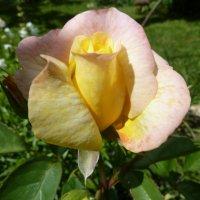 моя любимая роза :: Валюша Черкасова