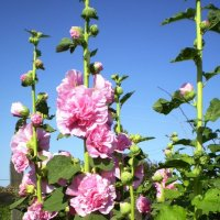 Шток-роза :: Лариса Рогова
