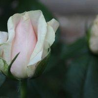 Роза :: Света Чубук