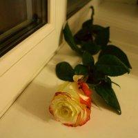 Роза на окне :: Вита Чернышева (CheVita)
