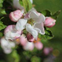 Яблоневый цвет :: Вита Чернышева (CheVita)