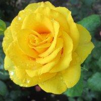 Жёлтая в капельках... :: Тамара (st.tamara)