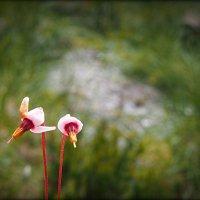 цветочки клюквы... :: Ljudmila Korotkova