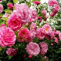 Оттенки розового :: Айя Томбундин