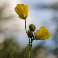 желтые тюльпаны :: Наталья Василькова