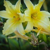 Лилии желтые. :: Nonna