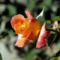о розах :: Ольга Рывина