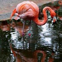 Исключительной особенностью фламинго является окраска оперения. :: Savayr