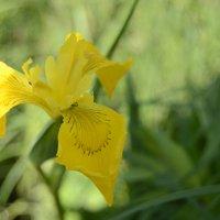 Орхидея на болоте :: Наталия Макарычева