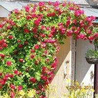 Плетистая роза :: Ираида Мишурко