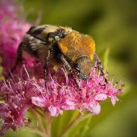 Поедатель пыльцы :: Юрий Кольцов