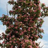 Деревце, цветет боярышник :: barsik8668 Наташа
