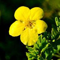 Желтенький цветочек. :: Виталий Дарханов
