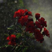 Розы :: ILANA Gvozdievskaya