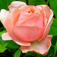 Розовая роза :: Виктор ☼TYGRYS☼