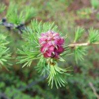 Лиственница цветёт :: Князькова Наталья (Княженика)