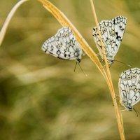 бабочки :: Саша Дикарева