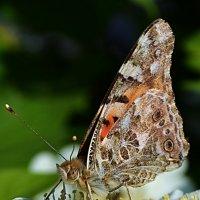 Бабочка :: Natal&na Фотолюбитель