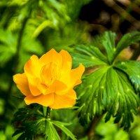 Таёжный цветок :: юрий Амосов