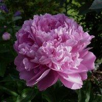 Пион травянистый гибридный Эмма Клем / Paeonia Lactiflora Hybriden Emma Klehm :: lenrouz