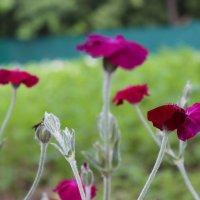 Поцелуй цветов :: Юлия Павлова