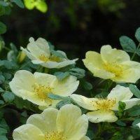 роза :: татьяна горбунова