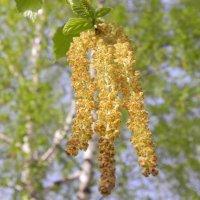 Золотые серёжки весны :: Сергей Макеров