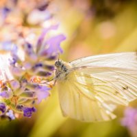 Cabbage Butterfly :: Виталий Доарме