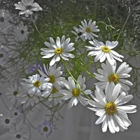Цветы брахикомы. :: Любовь Чунарёва