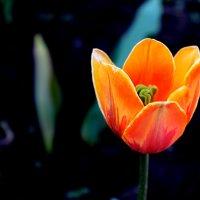 Оранжевый тюльпан :: Дарья Желудкова
