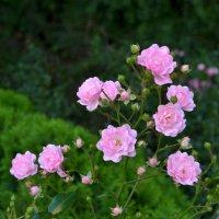 Розы :: Александр Л......