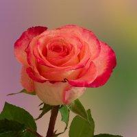 Роза :: Евгений Герасименко