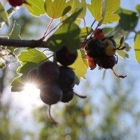 Смародина :: Жымпиты Сырым