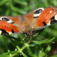 Бабочка :: Илья Данилюк