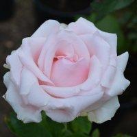 Розовая роза :: lara Bondarchuk