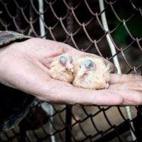 Маленькие голуби :: Астарта Драгнил