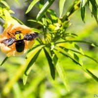 Пчела -плотник :: Александр Деревяшкин