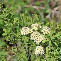Весенне-летнее цветение :: Светлана SvetNika17