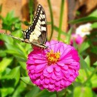 Бабочка :: Валерий Судачок