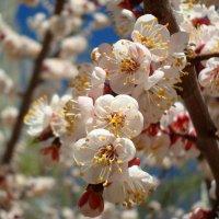 Цветы абрикоса :: Стас Борискин