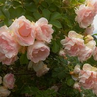 Лето розовых роз :: *ALISA* ( minck55 )