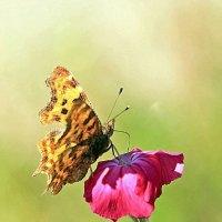 Гвоздичка и бабочка :: Alexander