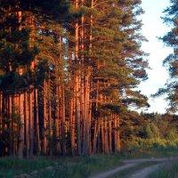 Сосны на закате. :: pugar4750 Юрий Пучков
