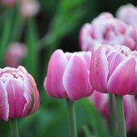 тюльпаны :: Августа