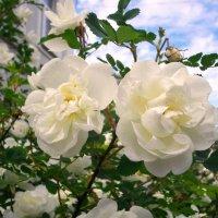 Царскосельские розы! :: Лия ☼