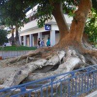 Необычное дерево в Сорренто :: Лариса Евдокимова