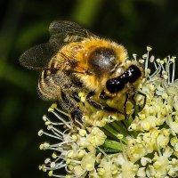 Бджола :: Дмитрий Гончаренко