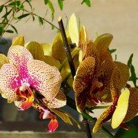 Желтая орхидея :: Алексей Golovchenko