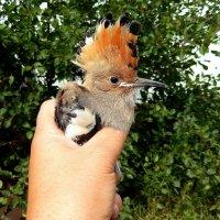 Спасённый птенец удода . :: Hаталья Беклова