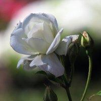 Белая роза :: Ната Волга